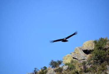 """""""Poloc"""", el cóndor Andino que volvió a volar tras ser envenenado"""
