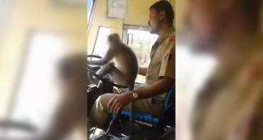 VIDEO VIRAL: suspenden a chofer de colectivo que puso a un mono al volante
