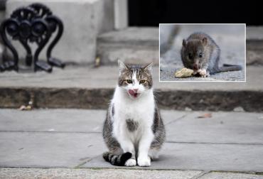 Hantavirus: sólo el olor de los gatos hace huir a los ratones