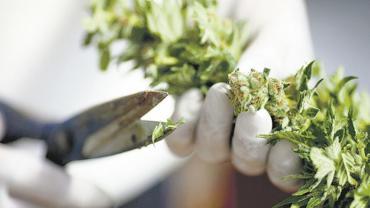 Para la OMS, el cannabis no es una droga peligrosa