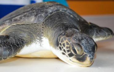 Las impactantes imágenes de la tortuga marina rescatada que defeca gran cantidad de basura