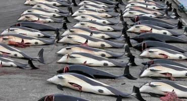 Islas Feroe, en medio de la polémica por matanza de 250 ballenas y delfines