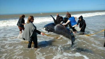 Siete orcas quedaron varadas en Mar Chiquita: tres ya fueron devueltas al mar, una murió