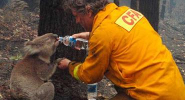Por los incendios en Australia ya murieron mil millones de animales