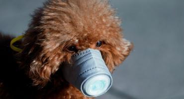 Coronavirus avanza sin freno: detectaron el primer perro con la enfermedad