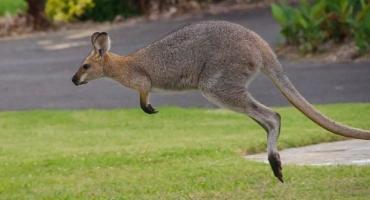En tiempos de cuarentena, un canguro decidió recorrer las calles de Australia