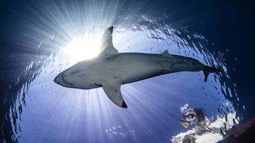 VIDEO: graba cómo manada de tiburones hambrientos caza un enorme banco de peces