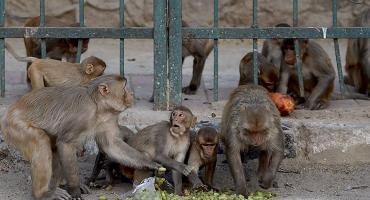 Monos roban muestras de pacientes ingresados por coronavirus en hospital de India