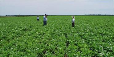 Colombia: Justicia ordena suspender erradicación de cultivos ilícitos y priorizar su sustitución