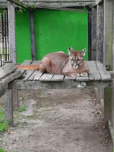 Encontraron un puma que había sido robado de Berazategui
