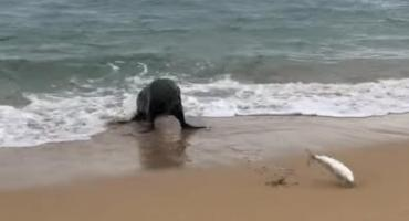 Video: Un pez escapa de una foca dando saltos por la playa