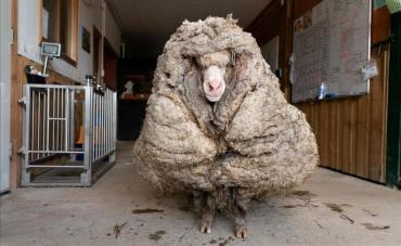 Una oveja bate el récord al acumular 35 kilos de lana