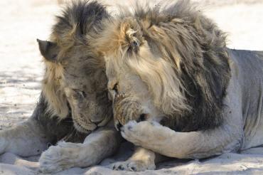 Ocho leones de un zoológico dieron positivo de coronavirus