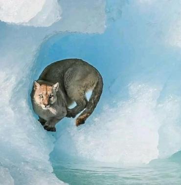Un puma fue fotografiado y filmado sobre un iceberg en el Parque Nacional Los Glaciares